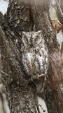 African Scops-Owl in Kruger National park Stock Photos