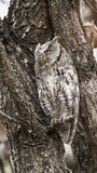 African Scops-Owl in Kruger National park Royalty Free Stock Photo