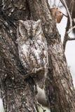 African Scops-Owl in Kruger National park Stock Images