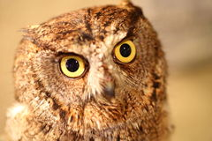 African Scops Owl Royalty Free Stock Photo