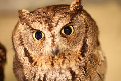 African Scops Owl Royalty Free Stock Photos