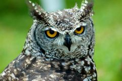 African Scops Owl Profile 2. Close-up of African Scops Owl Stock Image