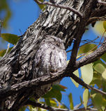 African scops owl Royalty Free Stock Photography