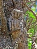 African Scops Owl Stock Image