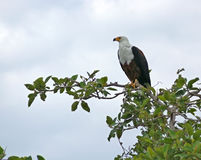 African sea eagle in treetop Royalty Free Stock Photos