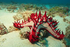 African sea star. African red-knobbed starfish photographed in Diani Chale Marine Reserve, Kenya stock photography