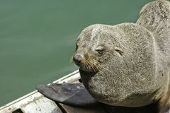 African seal Royalty Free Stock Image
