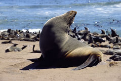 African seal Royalty Free Stock Photo