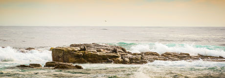 African Seals Panorama Royalty Free Stock Photo