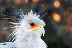 African Secretary Bird royalty free stock images