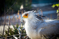 African Secretary Bird stock image