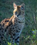 African Serval cat posing in early morning light. An African Serval cat posing in the grass for an early morning portrait stock photos
