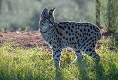 African serval cat backlit in the grass stock images
