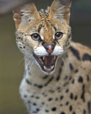 African serval male adult snarling Stock Image