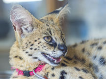 African Serval Royalty Free Stock Image