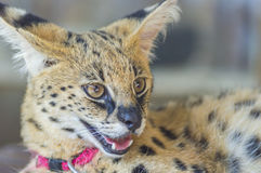 African Serval Stock Image