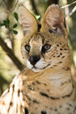 African serval. In the trees Stock Photos