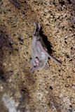 African Sheath-Tailed Bat (Coleura afra) Stock Images