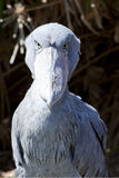 African Shoebill Royalty Free Stock Images