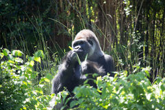 African Silver Back Gorilla. In the Wild Royalty Free Stock Photo