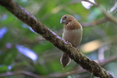 African silverbill Royalty Free Stock Image
