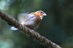 African silverbill Royalty Free Stock Photo