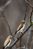 African silverbills Euodice cantans Stock Images