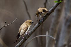 African silverbills Euodice cantans Royalty Free Stock Photography