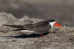 African Skimmer Royalty Free Stock Image
