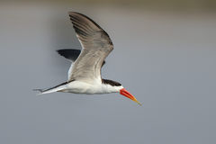 African Skimmer Stock Images