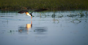 Free African Skimmer Stock Photo - 31449680