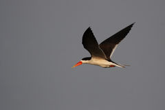 African Skimmer Royalty Free Stock Photos
