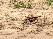 African skimmer chick Royalty Free Stock Images