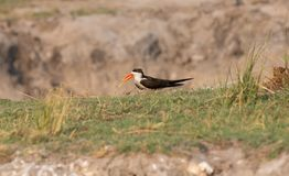 African Skimmer, Chobe National Park Stock Images