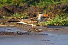 African skimmer, Chobe River, Botswana Royalty Free Stock Photography