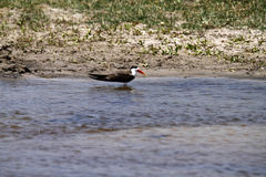 African Skimmer Royalty Free Stock Photo