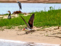 African skimmer Stock Photography