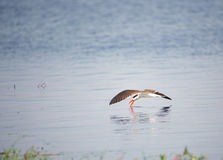 African Skimmer (Rynchops flavirostris) Royalty Free Stock Photography