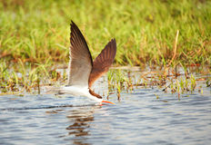 African Skimmer (Rynchops flavirostris) Royalty Free Stock Image