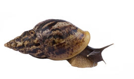 African snail. Big African snail with a brown shell Stock Image