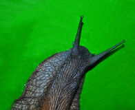 AFRICAN SNAIL Royalty Free Stock Image