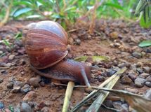 African snail looking for food in nature royalty free stock image