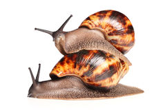 African snails crawling Royalty Free Stock Photo