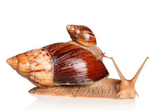 African snails crawling Stock Image