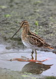 African Snipe Royalty Free Stock Image