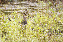 African Snipe Stock Photography