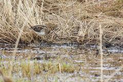 African Snipe Royalty Free Stock Photo