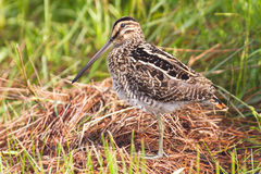 African snipe in wetland Royalty Free Stock Photos