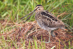 African snipe in wetland Stock Photo