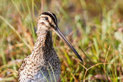African snipe in wetland Stock Image